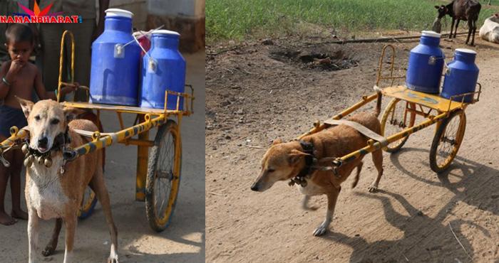 रोज अपने कन्धों पर 25 लीटर दूध लेकर पूरे गावं में बांटता है ये कुत्ता, पूरा वाकया जान रह जाएंगे हैरान