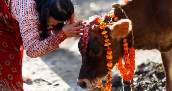 गाय देती हैं ये 3 संकेत