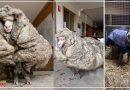 पिछले 5 साल से जंगलों में भटक रही थी ये भेड़, 35 किलो की ऊन निकालकर कुछ ऐसे बचाई गई जान…