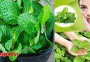 बड़े काम की है पुदीने की पत्तियां, कई रोगों से दिला सकती है मुक्ति, जानिए इसके फायदे
